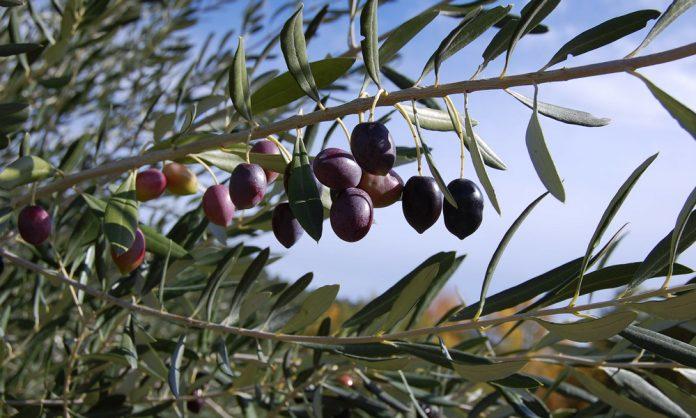 Agricoltura - Olive